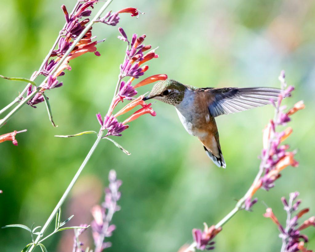Descubre las principales curiosidades acerca del colibrí