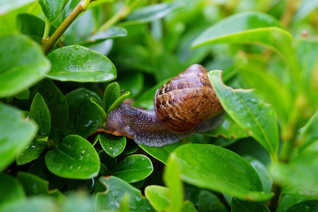 Reproducción de los caracoles